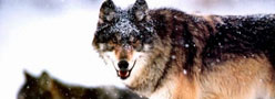 狼性文化魔力何在?百度华为的可取之处